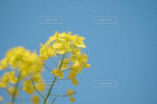 菜の花の写真・画像素材[1102103]