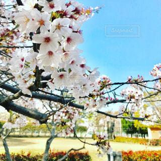 桜の写真・画像素材[1102106]