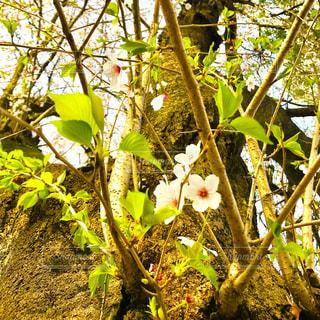 葉桜の写真・画像素材[1102114]