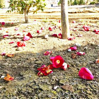 地面に散った花の写真・画像素材[1102146]