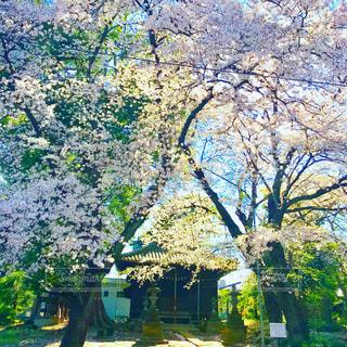神社と桜の写真・画像素材[1102789]