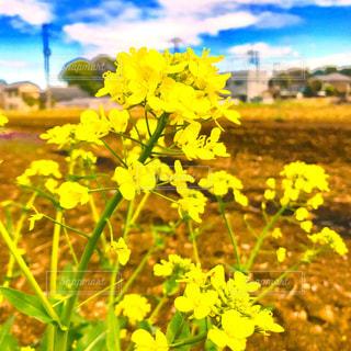 畑の菜の花の写真・画像素材[1102791]