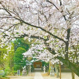 桜と神社。の写真・画像素材[1102797]