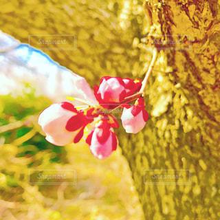 梅の花の写真・画像素材[1102891]
