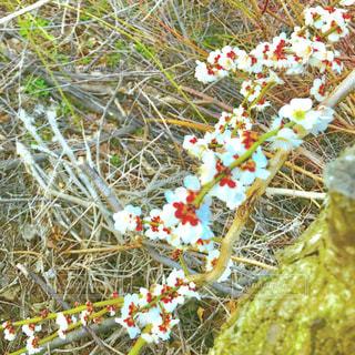 枝垂れる梅の木の写真・画像素材[1102892]