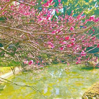 公園の梅の木の写真・画像素材[1102893]