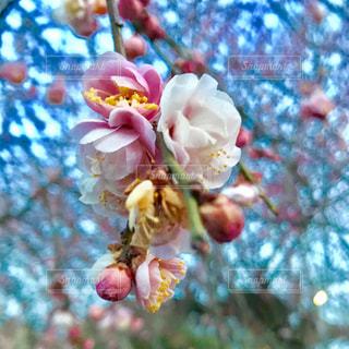 梅の花の写真・画像素材[1102894]