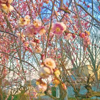 早朝の梅の木の写真・画像素材[1102896]