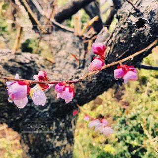 雨に濡れる梅の花の写真・画像素材[1102897]