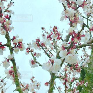 梅の花の写真・画像素材[1102899]