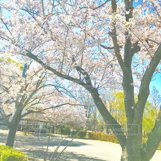 春おか広場の桜の木の写真・画像素材[1102931]