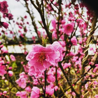 紅梅の写真・画像素材[1102933]