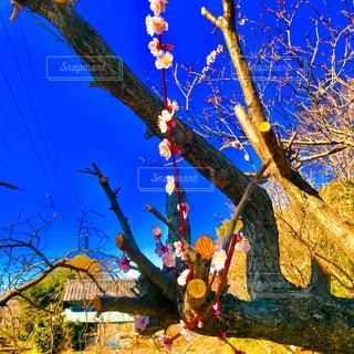 青空と梅の木の写真・画像素材[1102936]