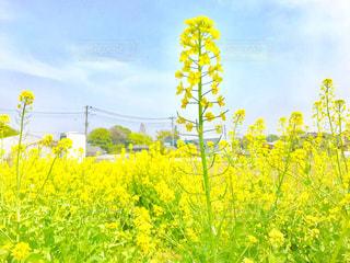 菜の花畑の写真・画像素材[1103400]