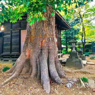 神社の御神木の写真・画像素材[1109175]