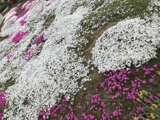 フィールドいっぱいの芝桜 - No.1111491
