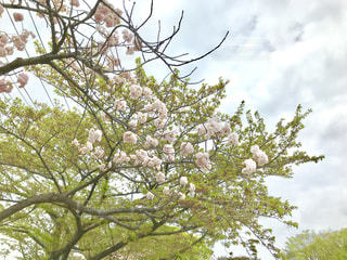 公園の桜と新緑の写真・画像素材[1113419]