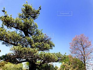 松の木と青空の写真・画像素材[1118825]