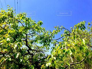 柿の木から見える青空 - No.1118834
