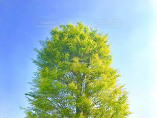 晴天の下の一本木の写真・画像素材[1120840]
