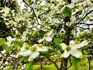 春おか広場のハナミズキの写真・画像素材[1122642]