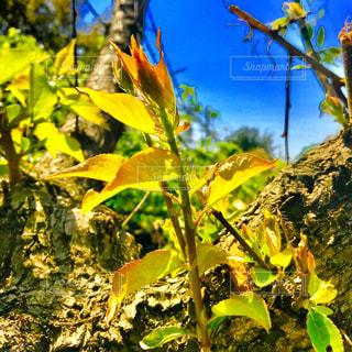 春の若葉の写真・画像素材[1126394]