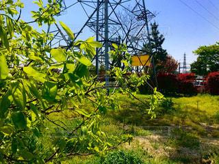 柿の木の若葉と鉄塔の写真・画像素材[1126395]