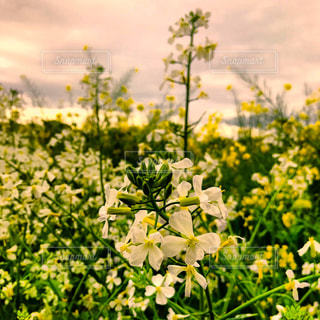 菜の花畑の白い菜の花の写真・画像素材[1130208]