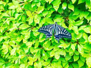 生垣の蝶々の写真・画像素材[1130221]