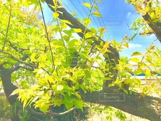 梅の木の新緑の写真・画像素材[1136558]