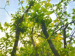 夕方の新緑の梅の木の写真・画像素材[1142052]