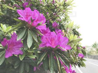 ツツジの花の写真・画像素材[1143228]