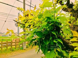 鉄道のそばの新緑の梅の木の写真・画像素材[1144432]