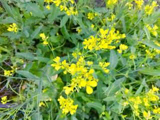 菜の花を上からの写真・画像素材[1146373]