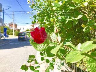 一輪の薔薇の写真・画像素材[1147917]