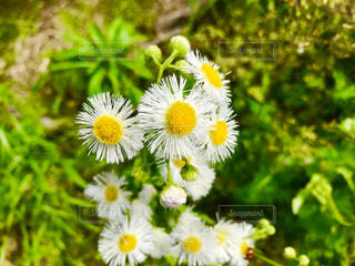 白い野花の写真・画像素材[1154345]