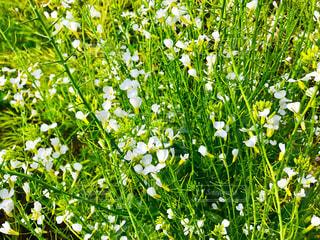 ダイコンの花の写真・画像素材[1160340]