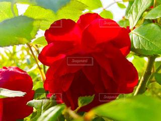 赤い薔薇の写真・画像素材[1166270]