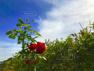 赤い薔薇と青空の写真・画像素材[1166271]