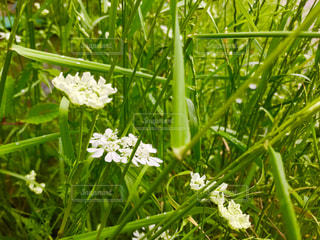 オルレアの白い花の写真・画像素材[1170104]