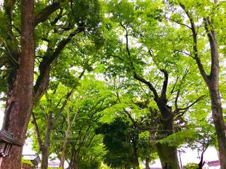 武蔵一宮氷川神社の参道の樹木の写真・画像素材[1170462]