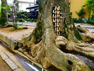 武蔵一宮氷川神社の参道の大木の根元の写真・画像素材[1170549]