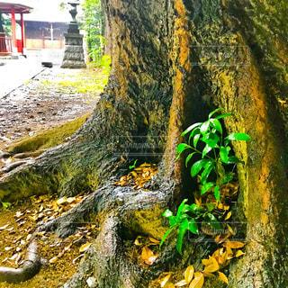 神社の大木の根本の若葉の写真・画像素材[1179964]
