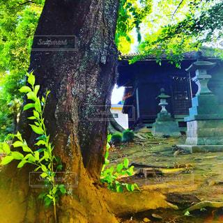 神社の大木の写真・画像素材[1182196]