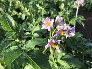 じゃがいもの花の写真・画像素材[1182242]