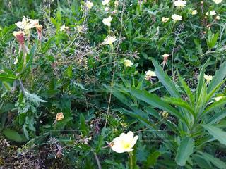 マツヨイグサの花の写真・画像素材[1186293]