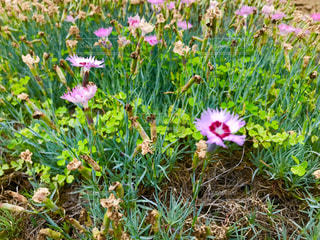 タツタナデシコの花の写真・画像素材[1189758]