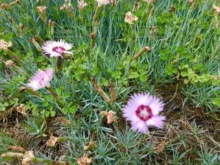タツタナデシコの花の写真・画像素材[1189760]