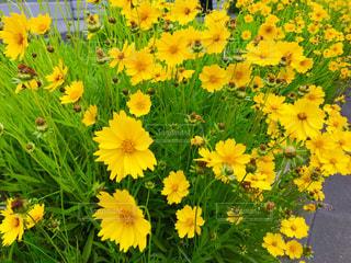 金鶏菊の花の写真・画像素材[1189766]