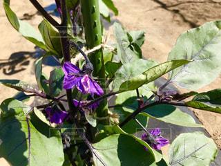 茄子の花の写真・画像素材[1192862]